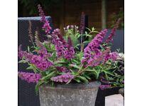 Dwarf Patio & Fragrant Buddleia plant, a hardy perennial, only grows 120cm tall
