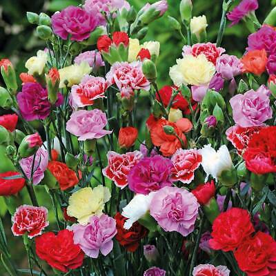 400Pcs Carnation Flower Seeds Ordinary 8 Kind Plant For Garden And Home