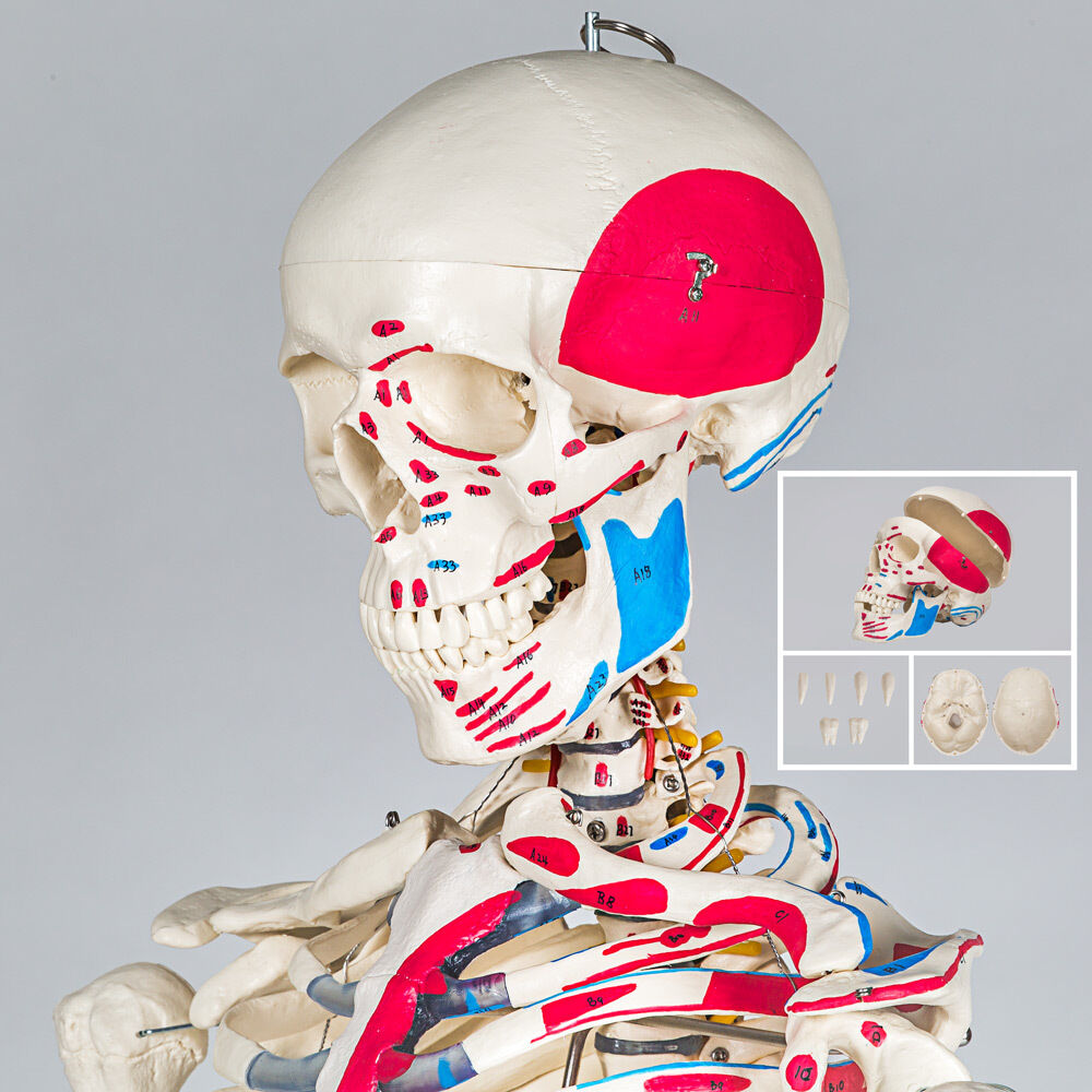 MENSCHLICHES STATIV SKELETT Modell Anatomie Lehrmodell Poster + ...