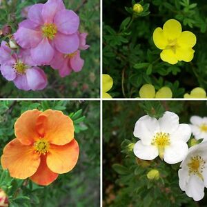 3 x Potentilla Fruticosa Shrubs, Long Flowering Shrubs