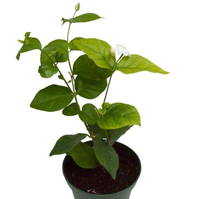 Arabian Tea Jasmine Live Plant Maid Of Orleans 4