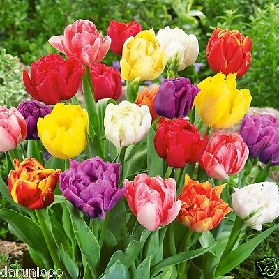 10 TULIPS TALL TULIP COLOUR GARDENING BULB BEAUTIFUL SPRING FLOWER PERENNIAL NEW