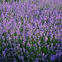 60 X Lavender Munstead Blue Plug Plants -  - ebay.co.uk