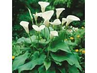 Garden Patio Flower/ plant in the pot Calla Lily Zantedeschia aethiopica
