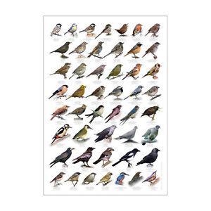 British Birds Identification Chart Wildlife Poster NEW