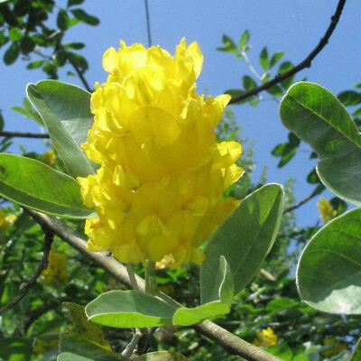 Cytisus battandieri Yellow Tail| Pineapple Broom | Garden Tree | 5-6ft