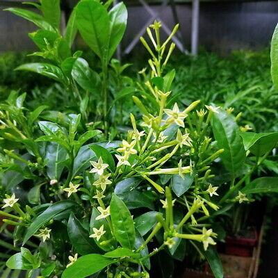 Ohio Grown Night Blooming Jasmine Plant - Cestrum Nocturnum - 4
