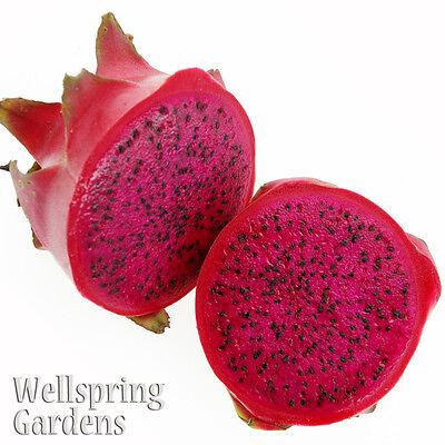 DRAGON FRUIT Hylocereus guatemalensis Live Plant American ...