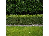 buxus sempervirens more then 10 year old