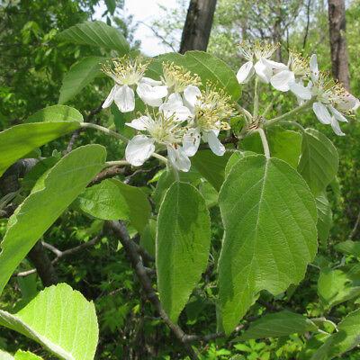 Malus tschonoskii | Pillar Crab Apple | Ornamental Garden Tree | 5-6ft