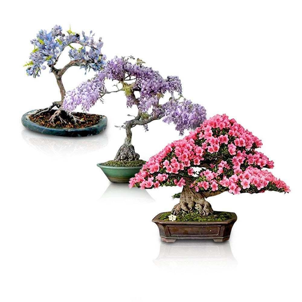 3 Flowering Bonsai Trees 30 Seeds Chinese Wisteria Judas Tree Blue Jacaranda Ebay