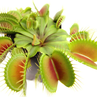 Carnivorous Plant 3 Inch Pot 3 Small Venus Flytraps Fly Trap Indoor Best (Best Indoor Fly Trap)