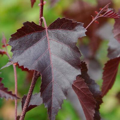 Betula Royal Frost | Purple Birch | Ornamental Garden Tree | 5-6ft