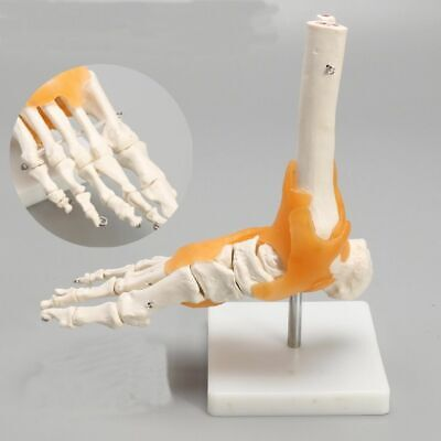 Skeleton Ligament Foot Ankle Joint Anatomy Medical Model Human Statues Sculpture