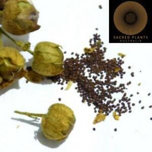 MAPACHO SACRED AZTEC TOBACCO 10 Seeds   Nicotiana Rustica   Sacred DMT