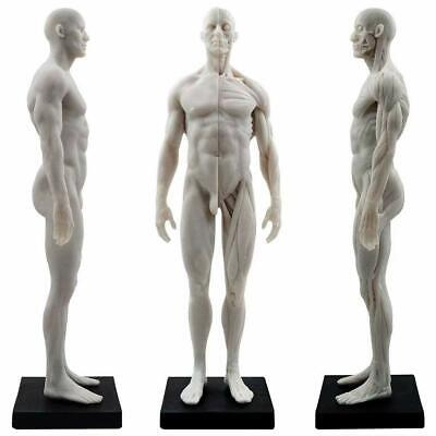 30cm Male Human Anatomical Model Art Anatomical Figure White Resin