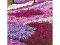 Creeping Phlox Ground Cover Evergreen Hardy Perennial Plant 21 X 35 cm Tray of Dark Pink Phlox