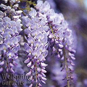 WISTERIA VINE Wisteria frutescens 'Amethyst Falls'   Flowering LIVE Plant