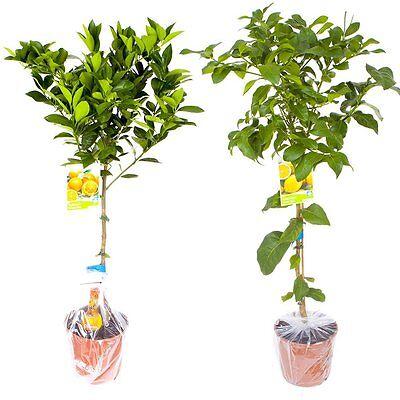 Pair of Grown Citrus Trees 6.5L Pots Citrus Feed Fresh Winter Lemon Orange Tree