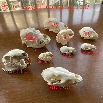 9pcs combination Unique real Taxidermy Skull Collection, specimen, decorations &