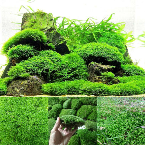 Natural Green Moss Ornamental Plants Water Grass Live Aquarium