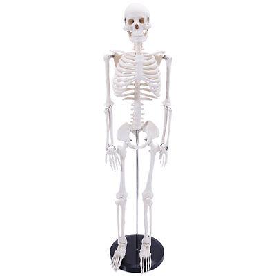 85cm Anatomical Human Anatomy Skeleton Medical Model + Stand 1/2 Life Size New