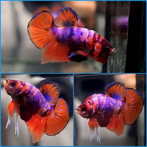 Live Betta Fish Fancy 5-COLORS NEMO CANDY KOI Halfmoon Plakat HMPK Male #A481