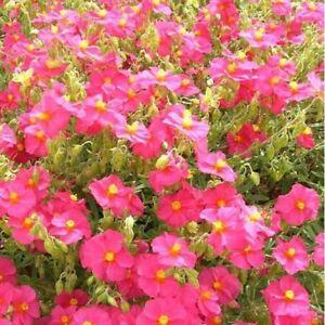 Helianthemum mutabile Mix - Rock Rose - approx 500 seeds -  Perennials