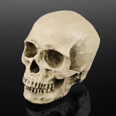 11 Life Size Human Anatomical Anatomy Resin Head Skeleton Skull Halloween Model