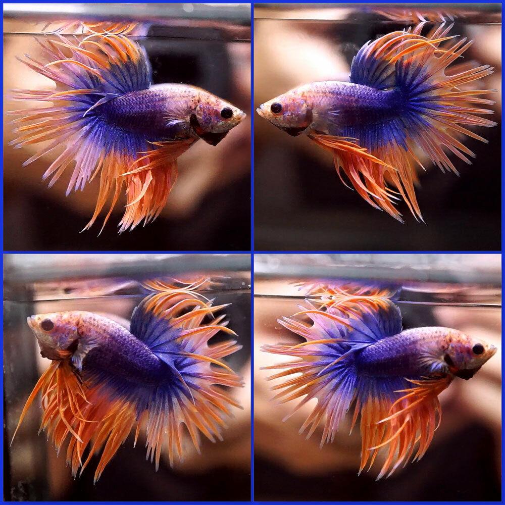 Live Betta Fish Betta Fish BLUE PURPLE ORANGE Crowntail CT Male J365  - $35.00