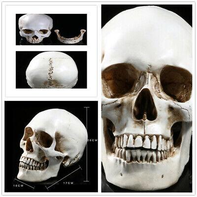 Lifelike Human Anatomical Anatomy Resin Head Skeleton Skull Teaching Party Prop