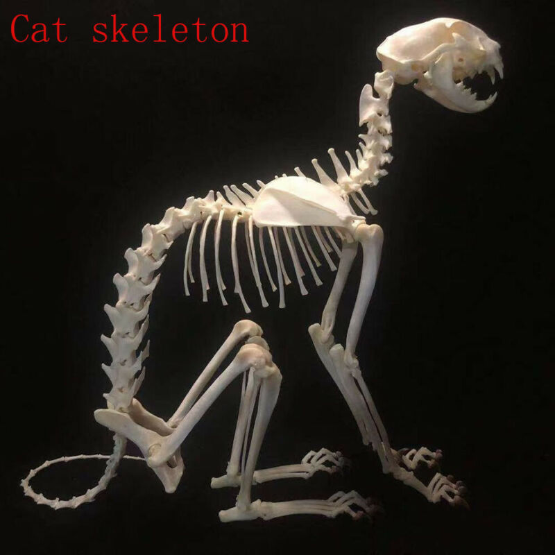 1Pcs complete animal skeleton specimen