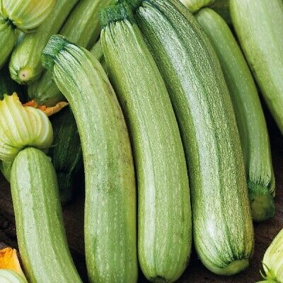 Genovese Seeds (Suffolk Herbs - Organic Courgette Genovese - 15 Seeds)