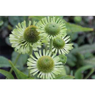 Echinacea purpurea 'Green Jewel' -R- - Garten-Scheinsonnenhut 'Green Jewel' -…