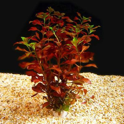 Bunched Dark Red Ludwigia Live Aquarium Plants Stem Repens Red - Dark Foliage