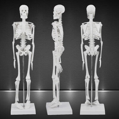 1 4 Human Anatomical Anatomy Skeleton Medical Teaching Model Stand