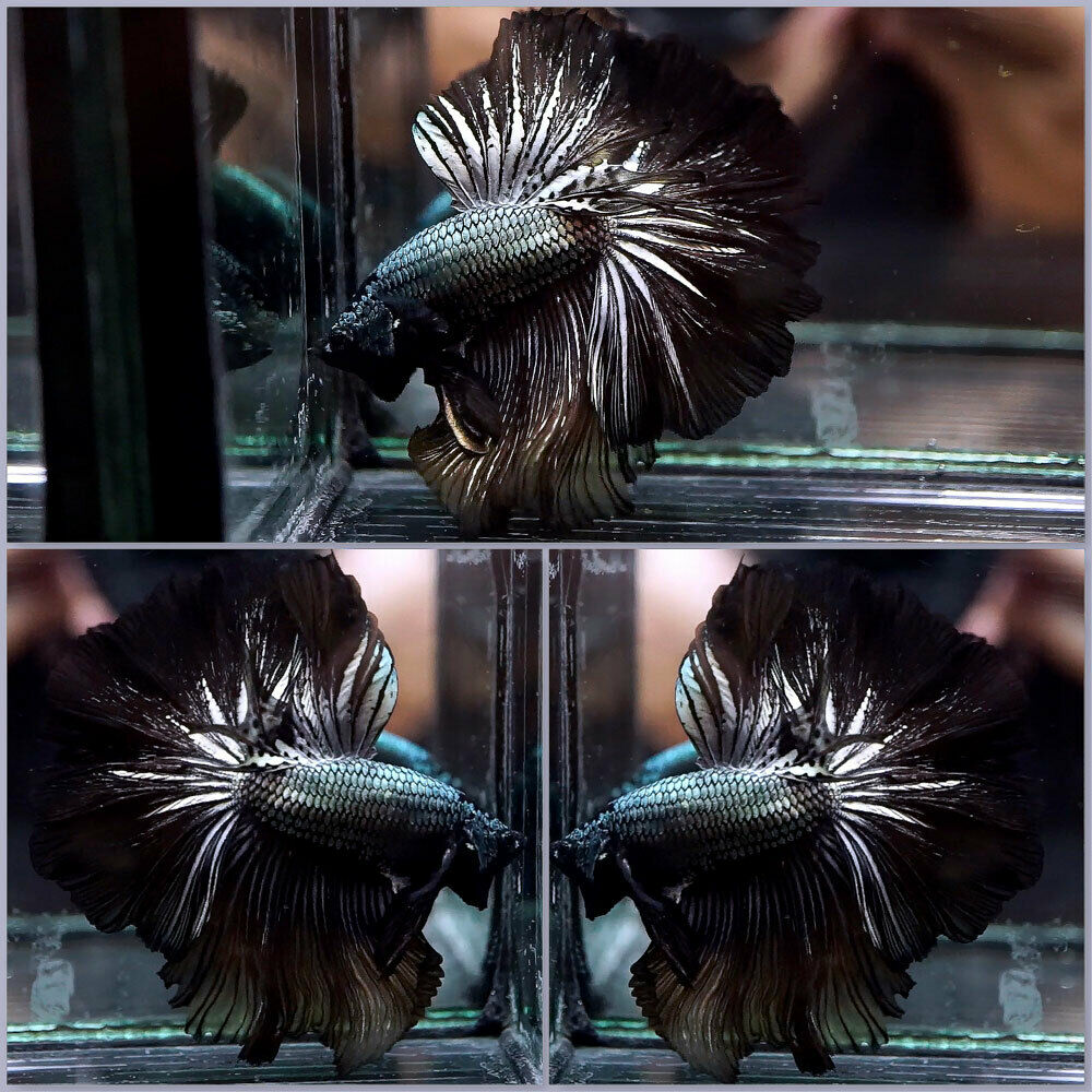 Live Betta Fish BLACK COPPER Rosetail HM Male J367  - $35.00