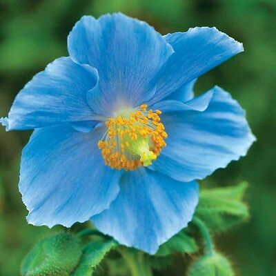 PERENNIAL FLOWER  HIMALAYAN BLUE POPPY 50 SEEDS MECONOPSIS BETONICIFOLIA