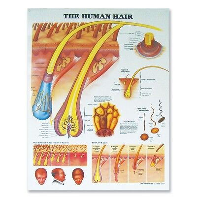 The Human Hair - Dermatology Anatomy Poster Anatomical Chart Company