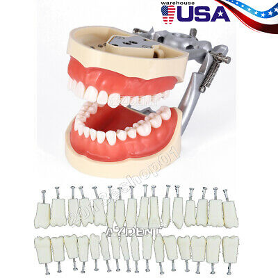 Kilgore Nissin 200 Type Dental Typodont Model With Removable 200 Teeth