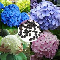 50pcs Rare Hydrangea Flower Seeds Flower Ideal Garden Potted Plant Seeds - unbranded - ebay.co.uk