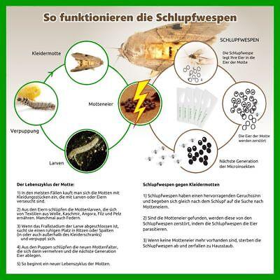 Schlupfwespen gegen Kleidermotten (Komplettbehandlung 15 Wochen)