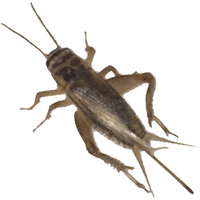 500, 1000, 2000+ Live Crickets (Acheta) - Starting 500/$15.99 - 1000/$24.99