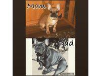 Cheap French Bulldog Puppies. Blue, Lilac & Fawn *bargain*