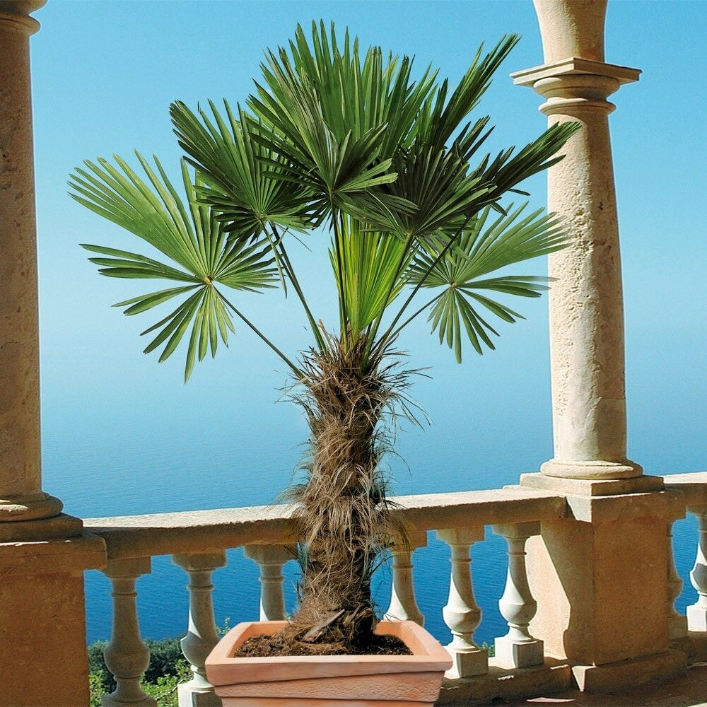 Palme XXL 150-180 cm, Trachycarpus fortunei Hanfpalme, winterhart bis -18 Grad