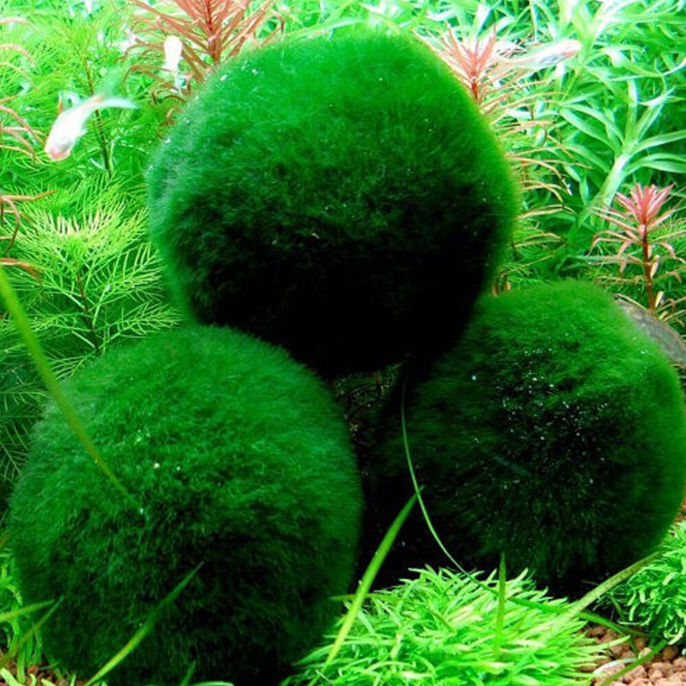 3 5cm marimo moss balls cladophora green live plant sphere for Moss balls for fish tanks