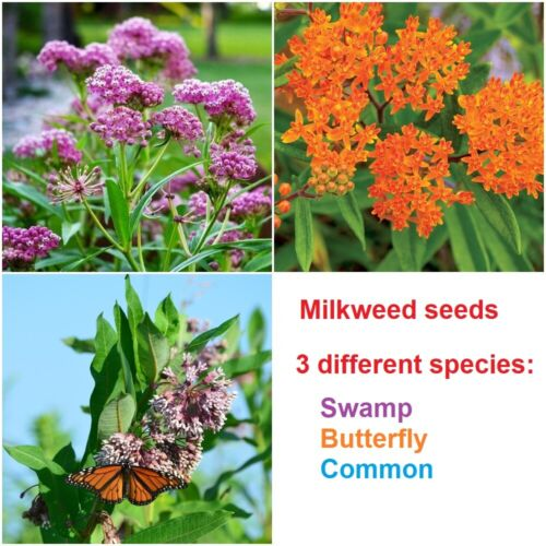 Swamp, Butterfly and Common Milkweed seeds  - 50 seeds of each - 150 seeds total
