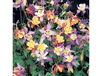 aquilegia miss scott elliot mixed colours in small pots perennial plant