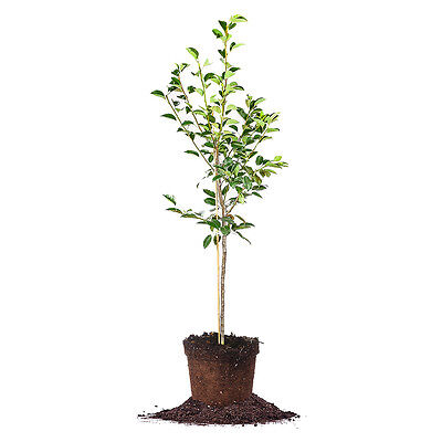 Pineapple Pear Tree  Live Plant  Size  3 4 Ft