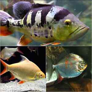 WANTED - RED HOOKS, TINFOIL BARBS, QUALITY PEACOCK BASS Raceview Ipswich City Preview
